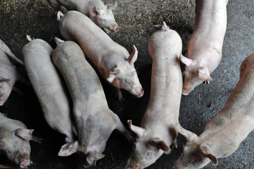 Schweinerei auf dem Bio-Hof